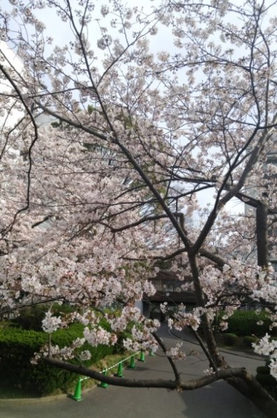 桜20160331_395×596